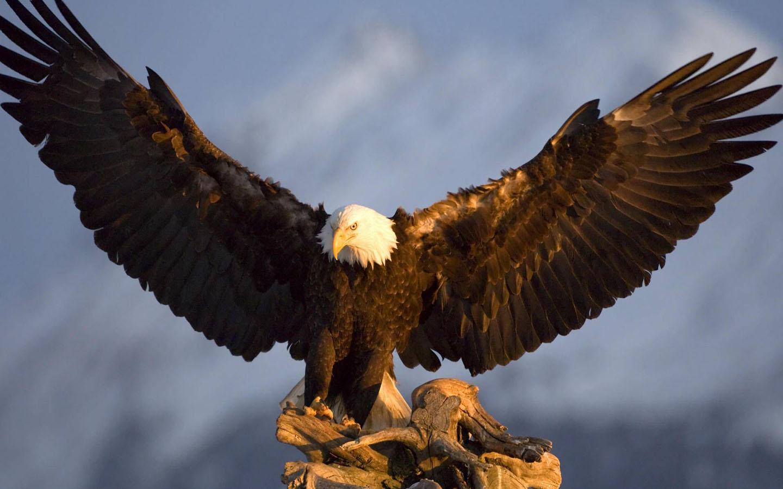Bald eagle wallpapers   SF Wallpaper 1440x900