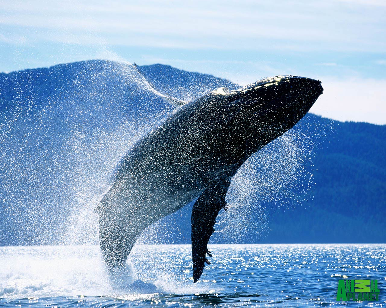 free Blue Whale wallpaper wallpapers download 1280x1024