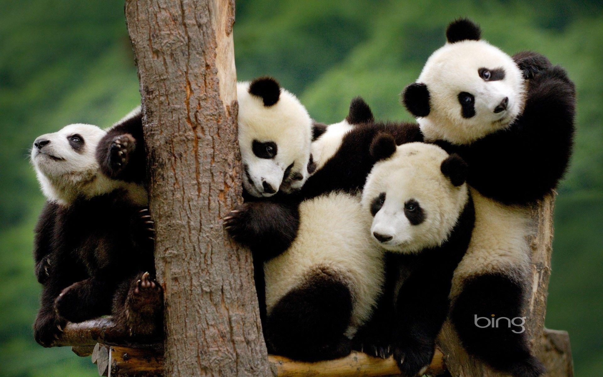 Panda Bear Wallpapers 1920x1200