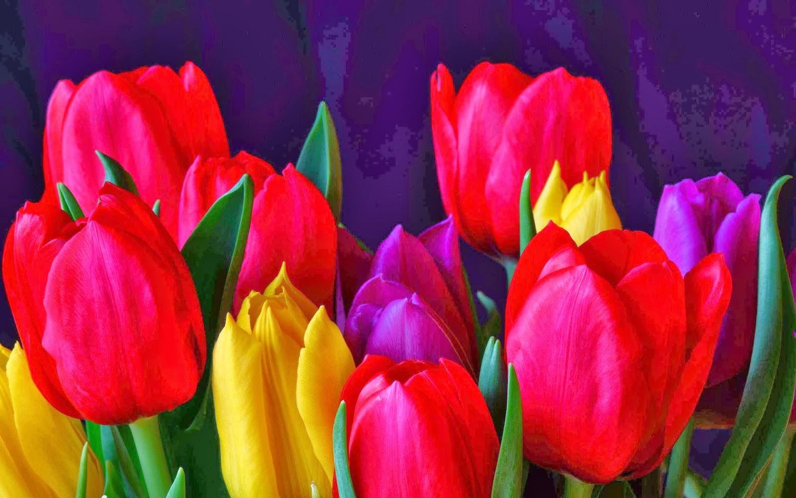 chiiizuka Download HD tulip flower wallpaper 1600x1000