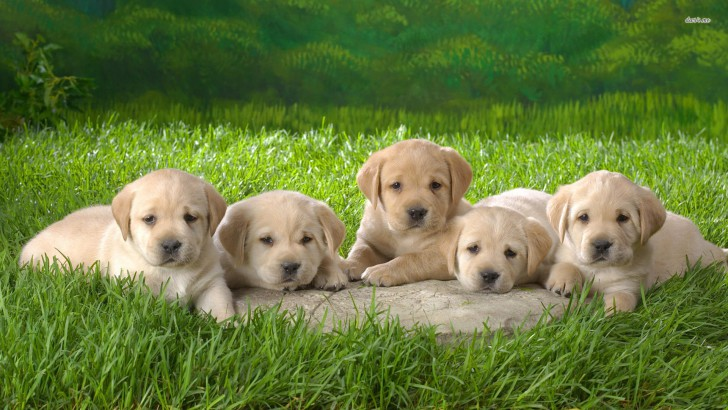 Yellow Lab Puppy Background Image Wallpaper Size 1920x1080 728x410