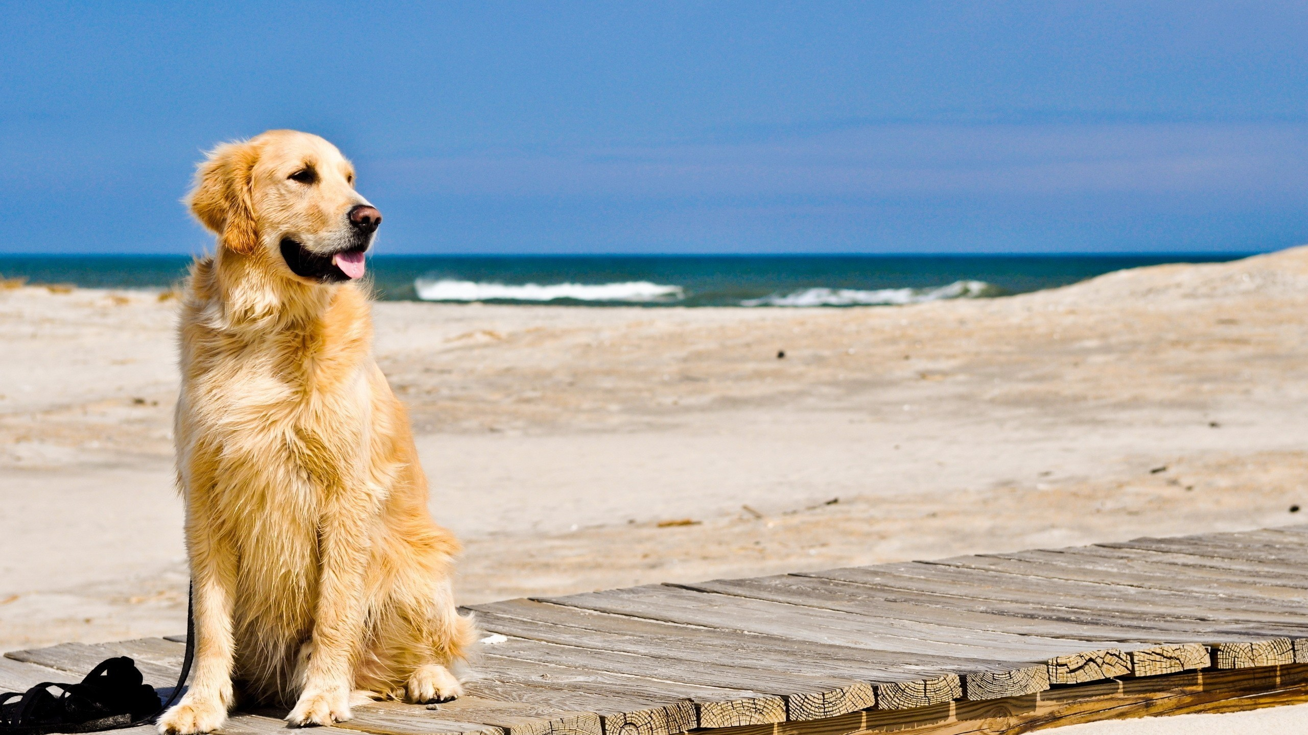 Golden Retriever HD Wallpapers 2560x1440