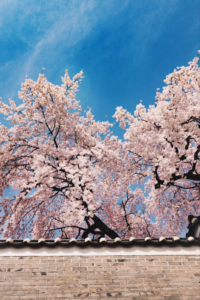 Spring in Korea 40 Photos to Convince You Its the Best Time to 683x1024