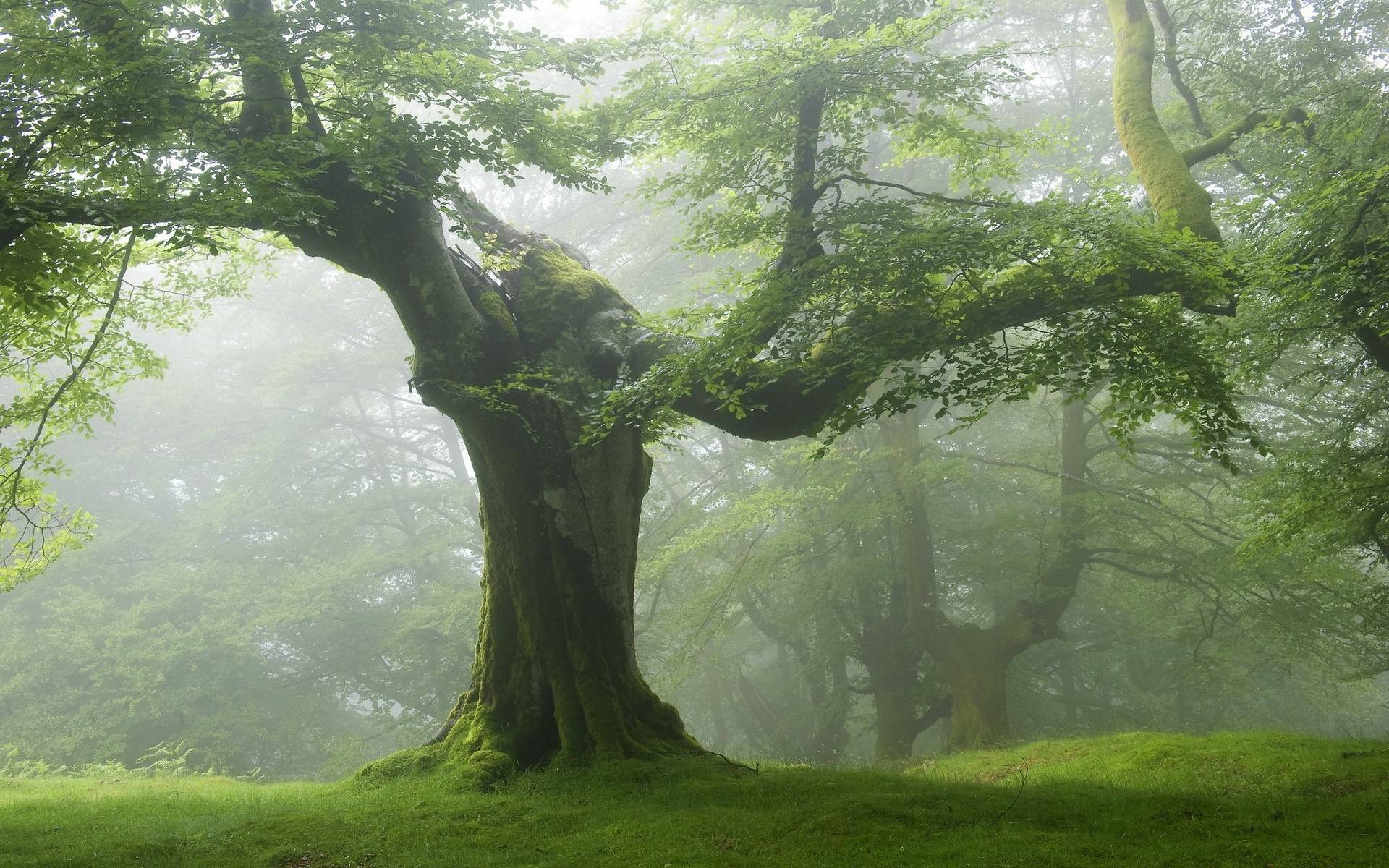 Old tree green forest Forest old green trees 1920x1200