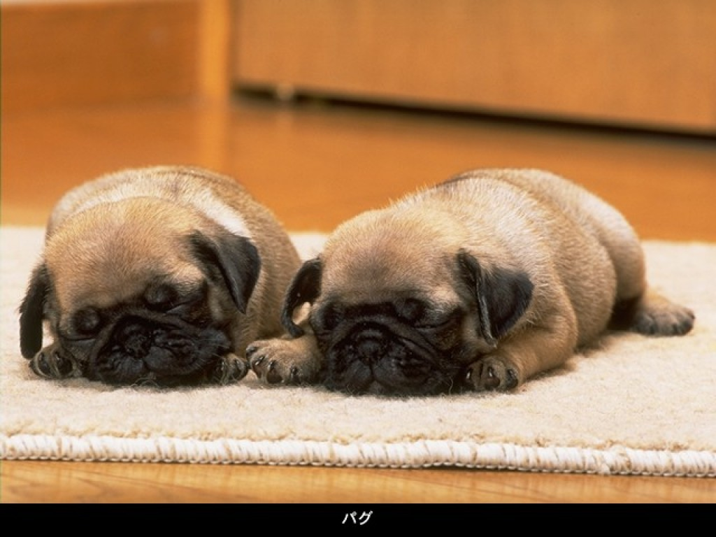 pug puppies wallpapers Animals 1024x768