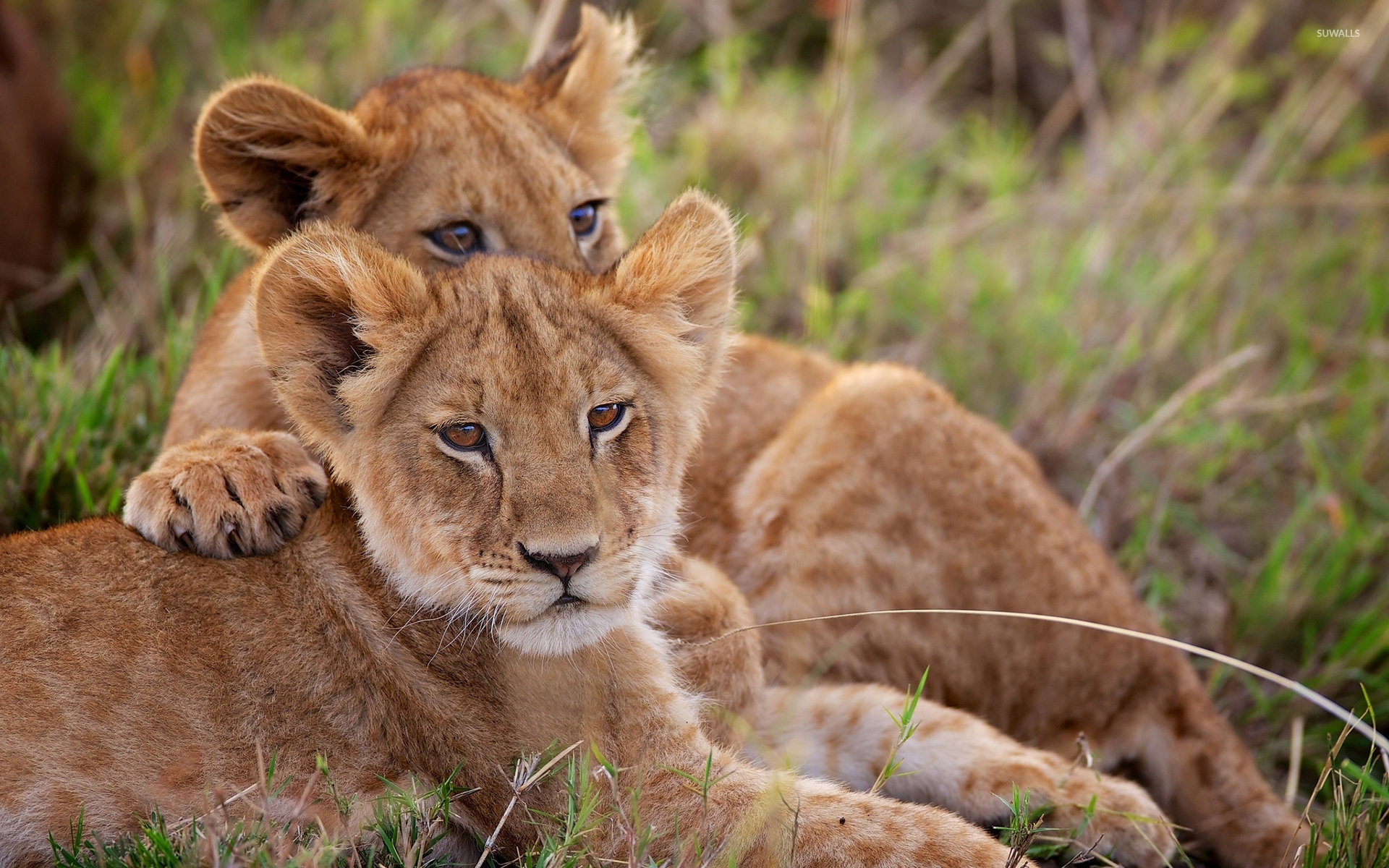 Lion cubs [2] wallpaper   Animal wallpapers   46993 1920x1200