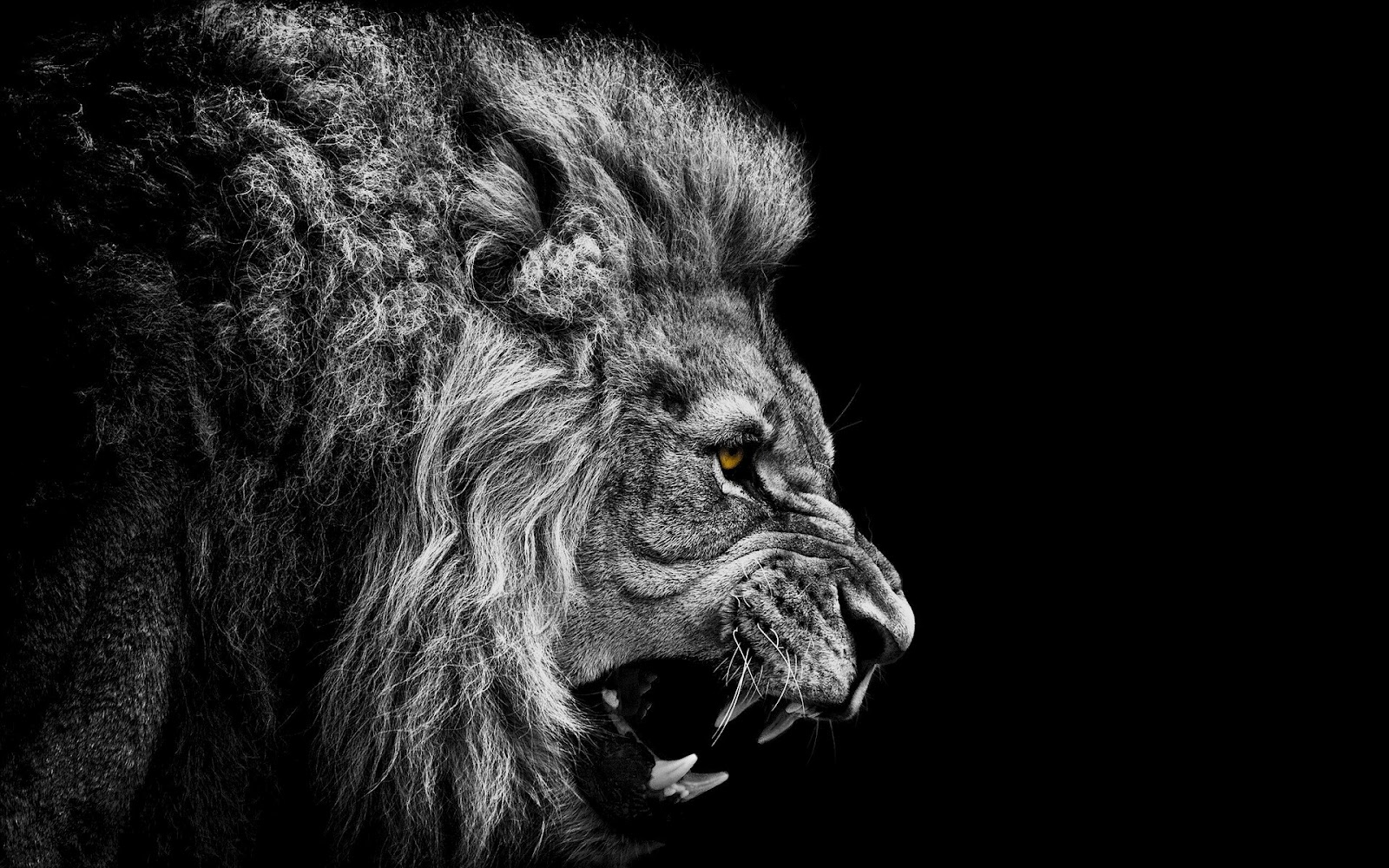 20 Amazing LION Wallpapers for your PC HD 1600x1000