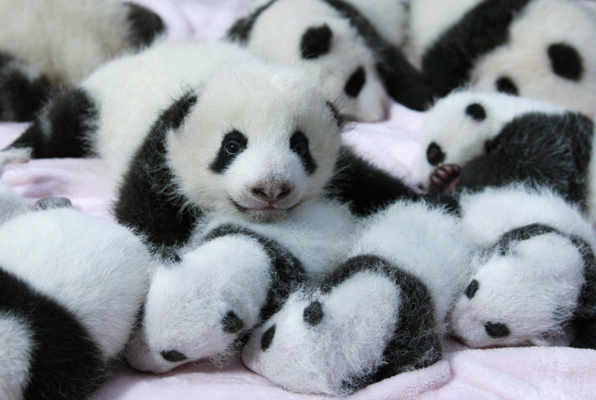 Panda pandas baer bears baby cute 30 wallpaper 2048x1375 364459 2048x1375