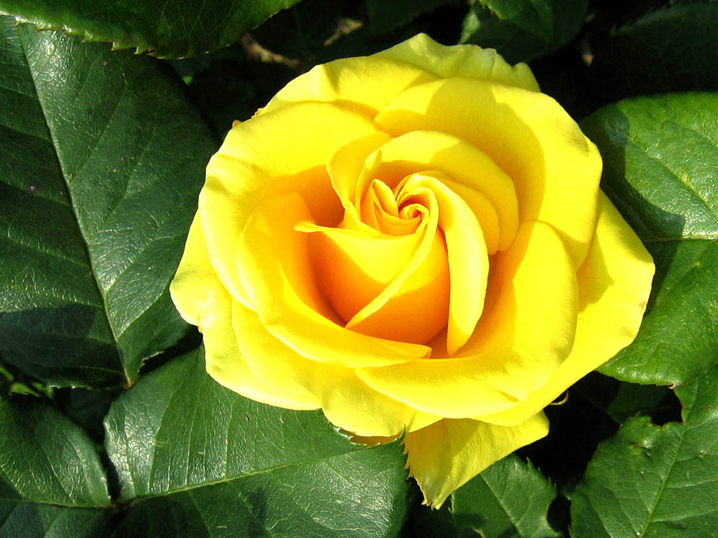 Hd wallpaper yellow rose - Yellow Rose Flower Wallpaper With Green Leaves Most Hd Wallpapers