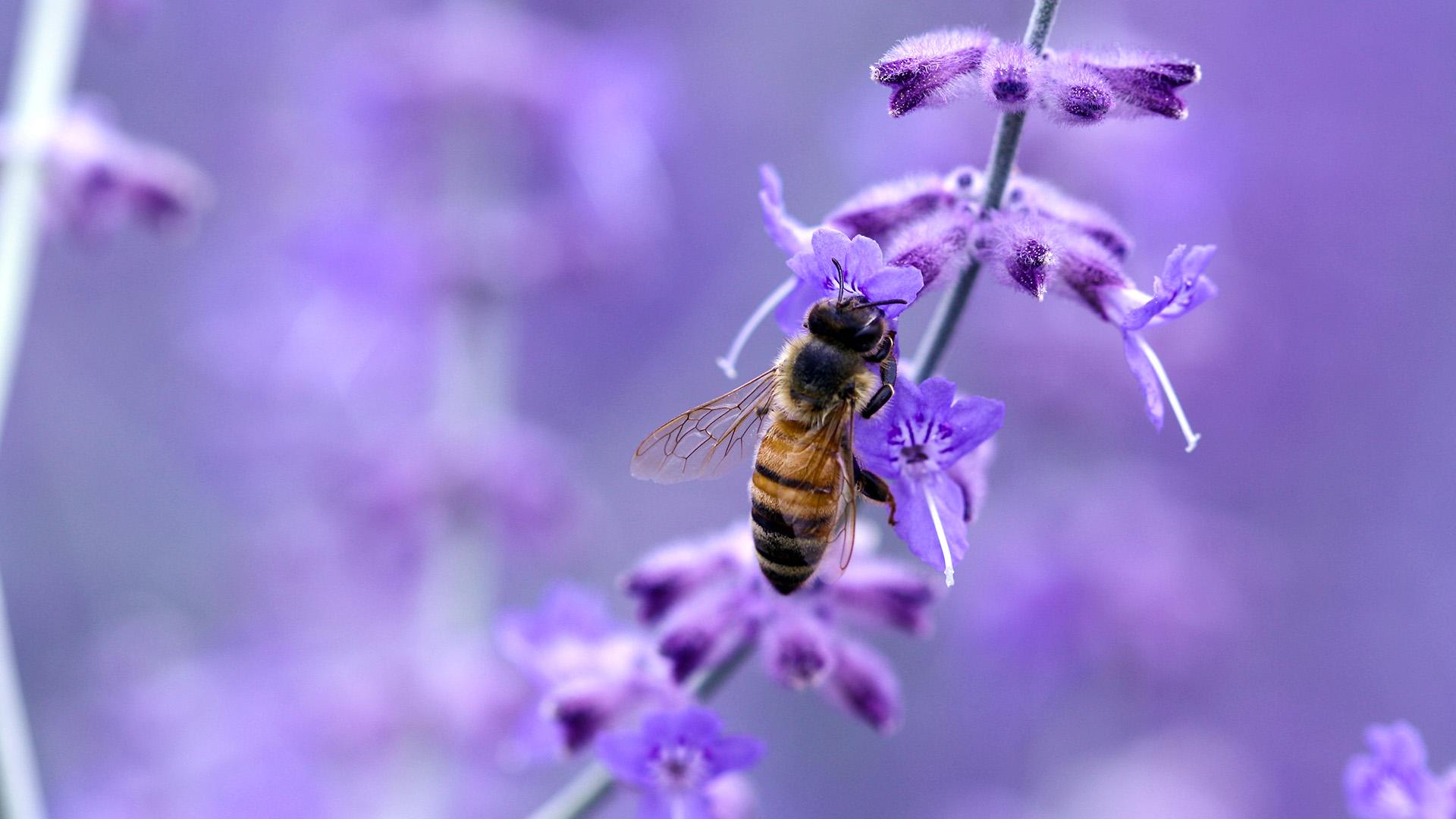 Bee On Purple Wallpaper 1920x1080