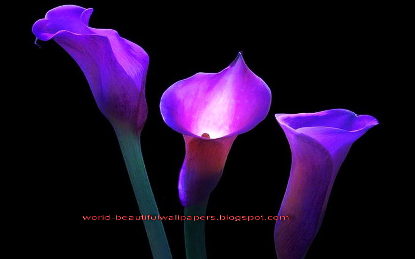Flowers lilies purple wallpaper wallpapersafari beautiful wallpapers calla lily flowers wallpaper 1440x900 izmirmasajfo