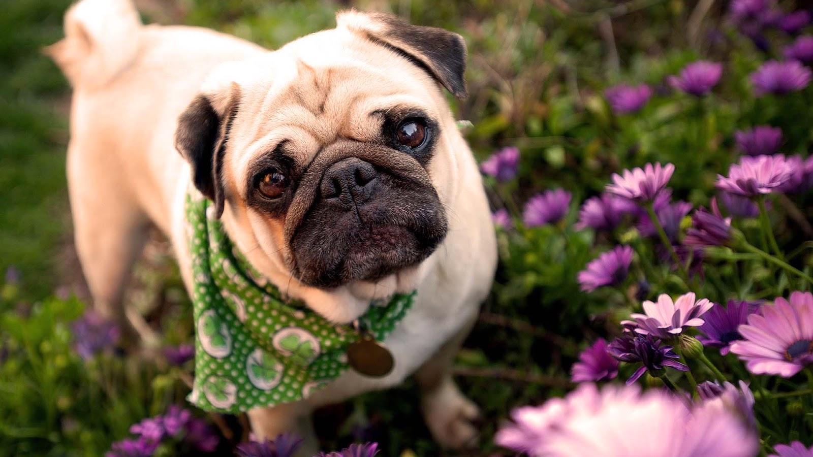 Cute Pug Puppies Wallpaper image HD Wallpaper 1600x900