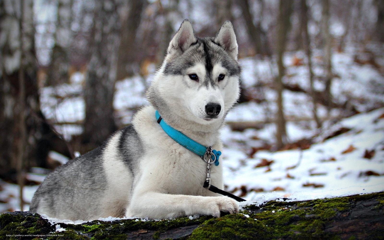 Download wallpaper dog, Husky, Winter, snow free desktop wallpaper in ...