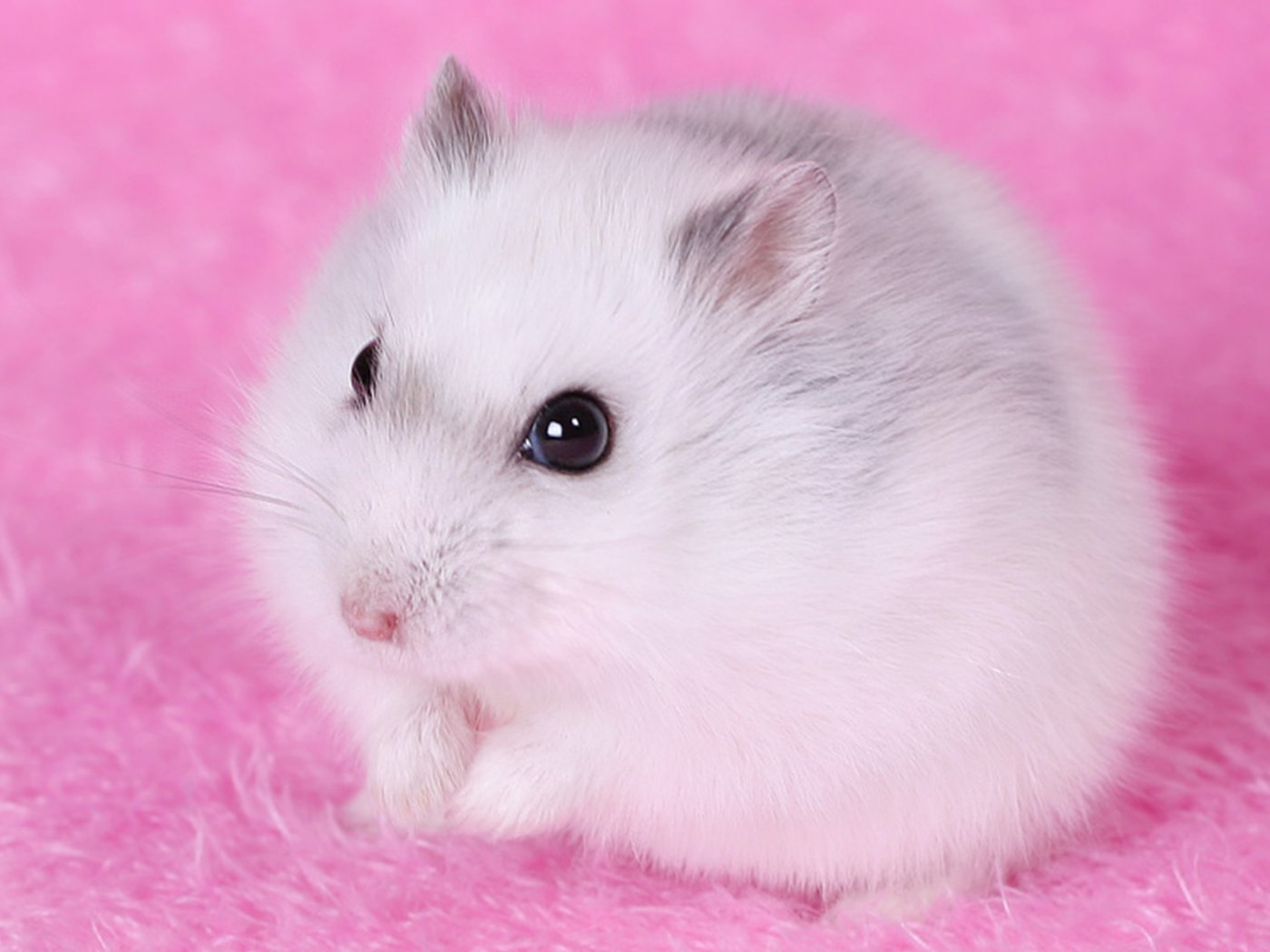 Hamster Wallpapers HD Wallpapers Early 1400x1050