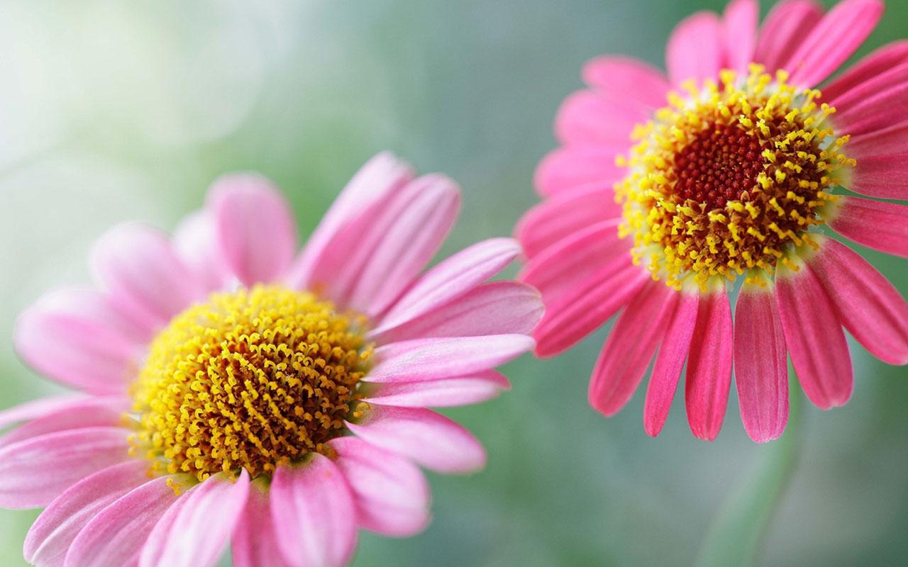 Charming feminine pink Flowers HD Wallpaper 8 Flower Wallpapers 1280x800