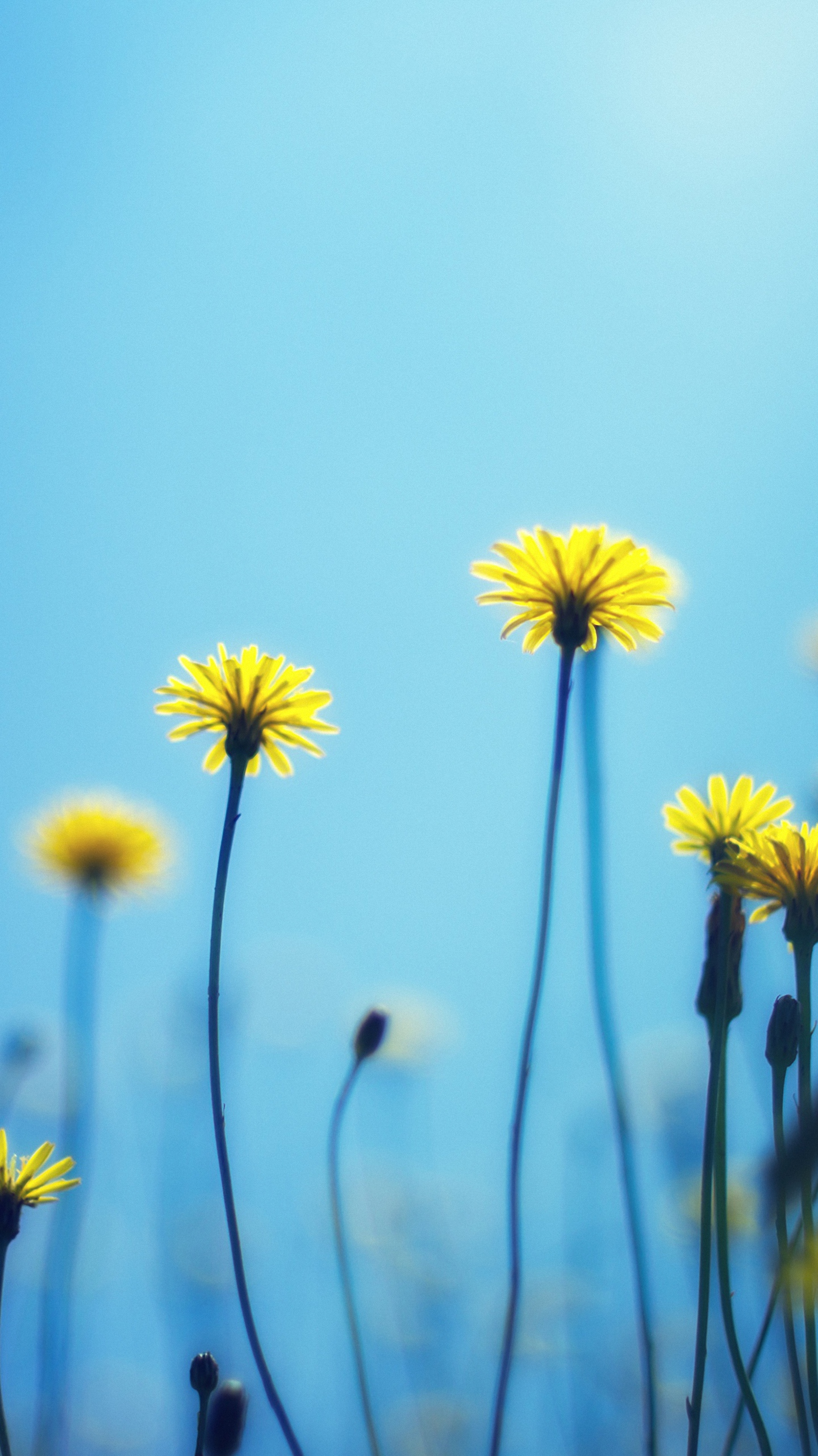 download flower dandelion wallpaper for samsung galaxy note 4 1440x2560