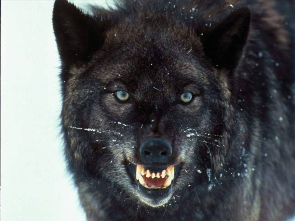 Free Download Wolves Wallpaper13 Angry Wolf Wallpaper
