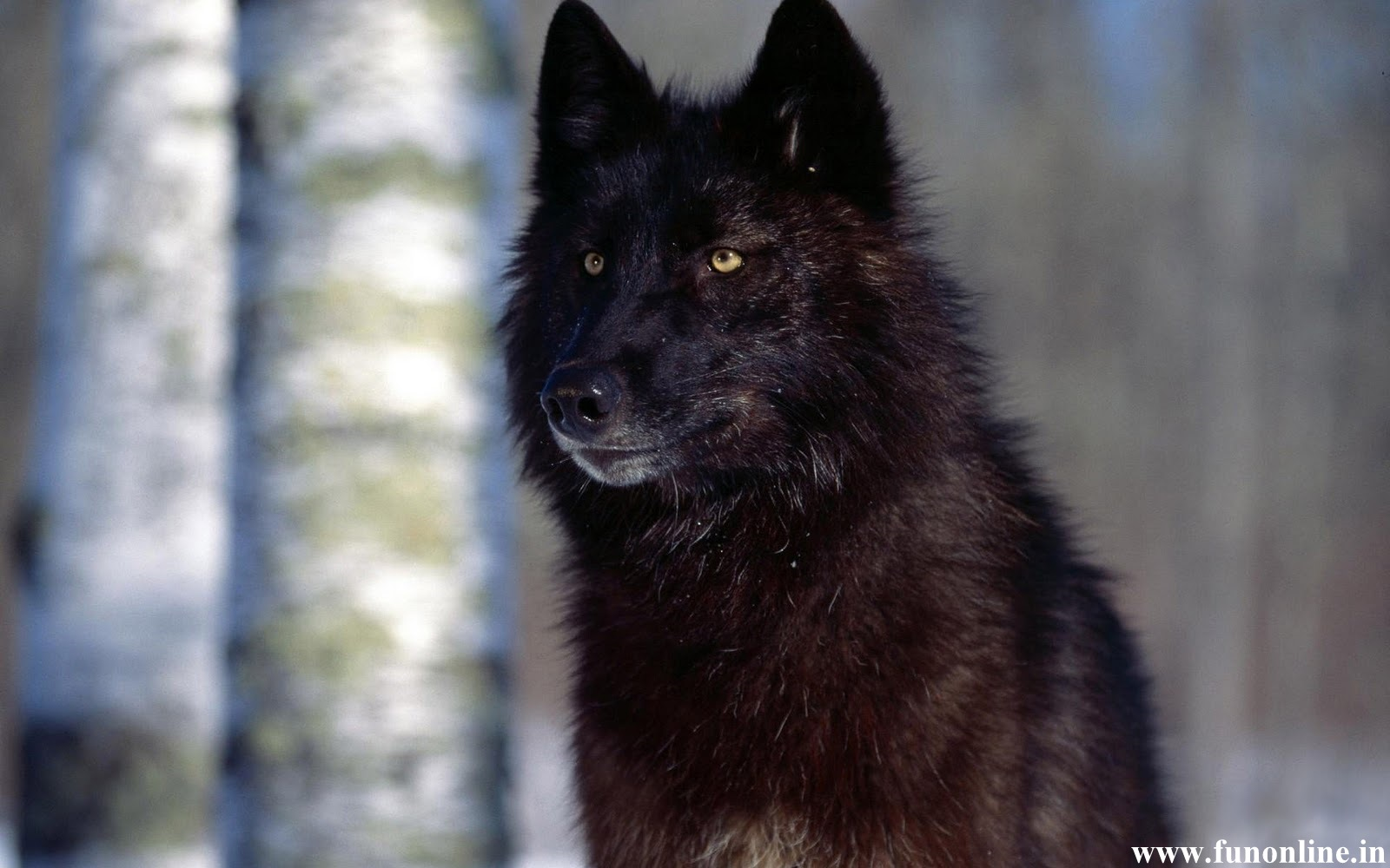 Wolf Wallpapers Download Black White and Grey Wolfs HD Wallpapers 1600x1000