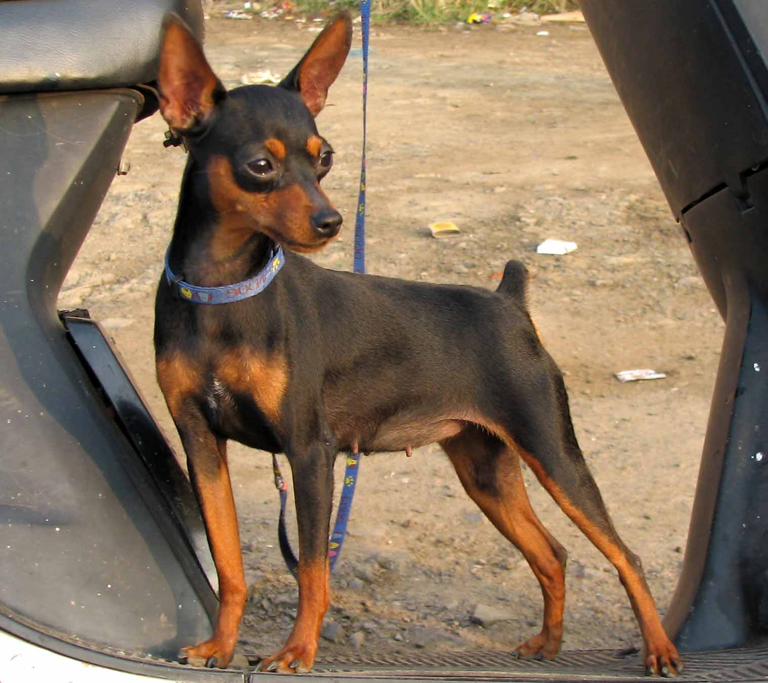 Miniature Pinscher Wallpapers 1518x1350