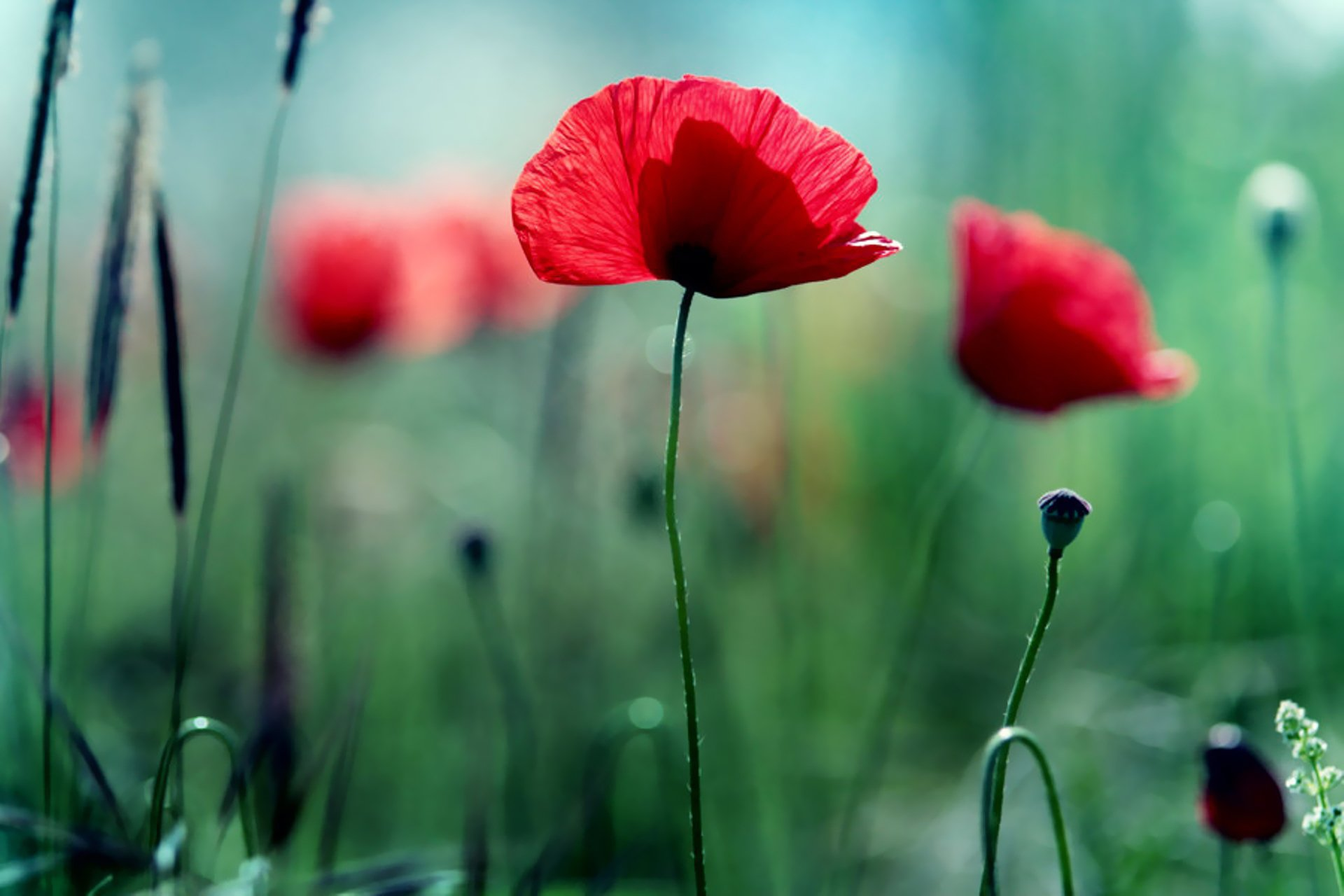 Wallpaper with poppies wallpapersafari - Poppy wallpaper ...