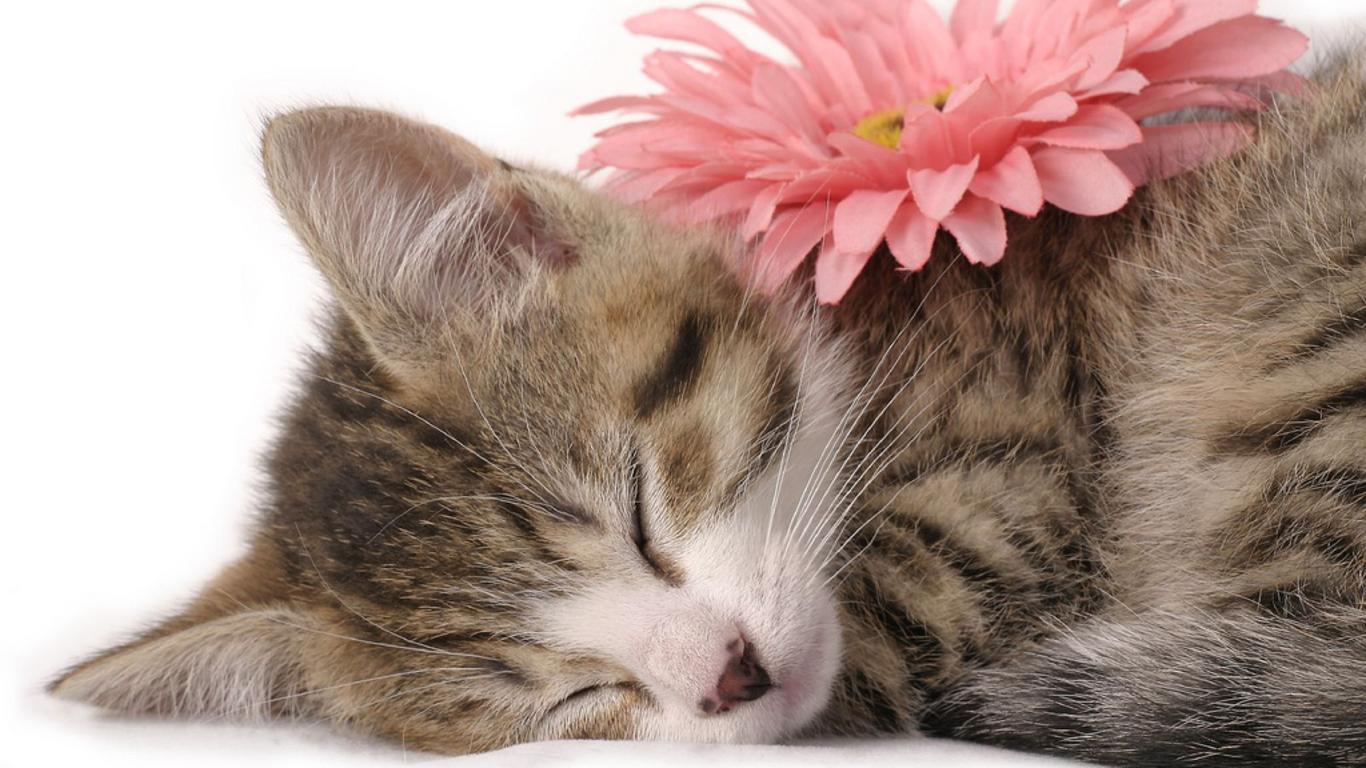 50 Free Kitten Wallpapers For Desktop On Wallpapersafari