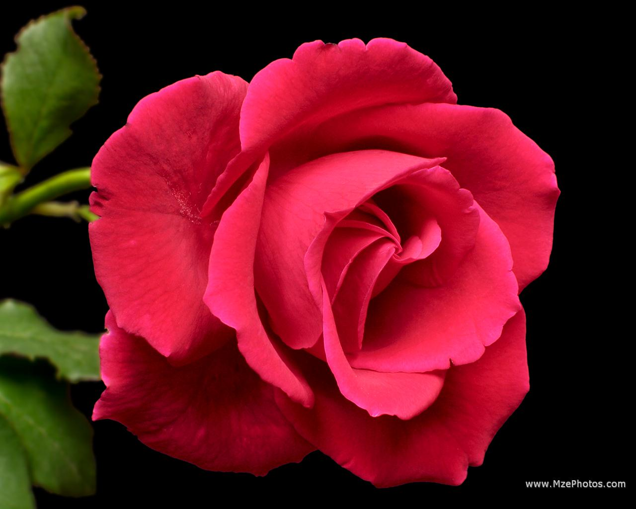 Beautiful Red Rose Wallpaper Wallpapersafari