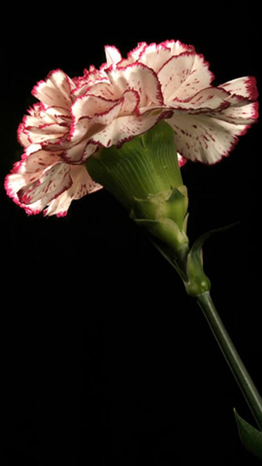 Картинки анимация цветы гвоздики, бабка смешная картинки