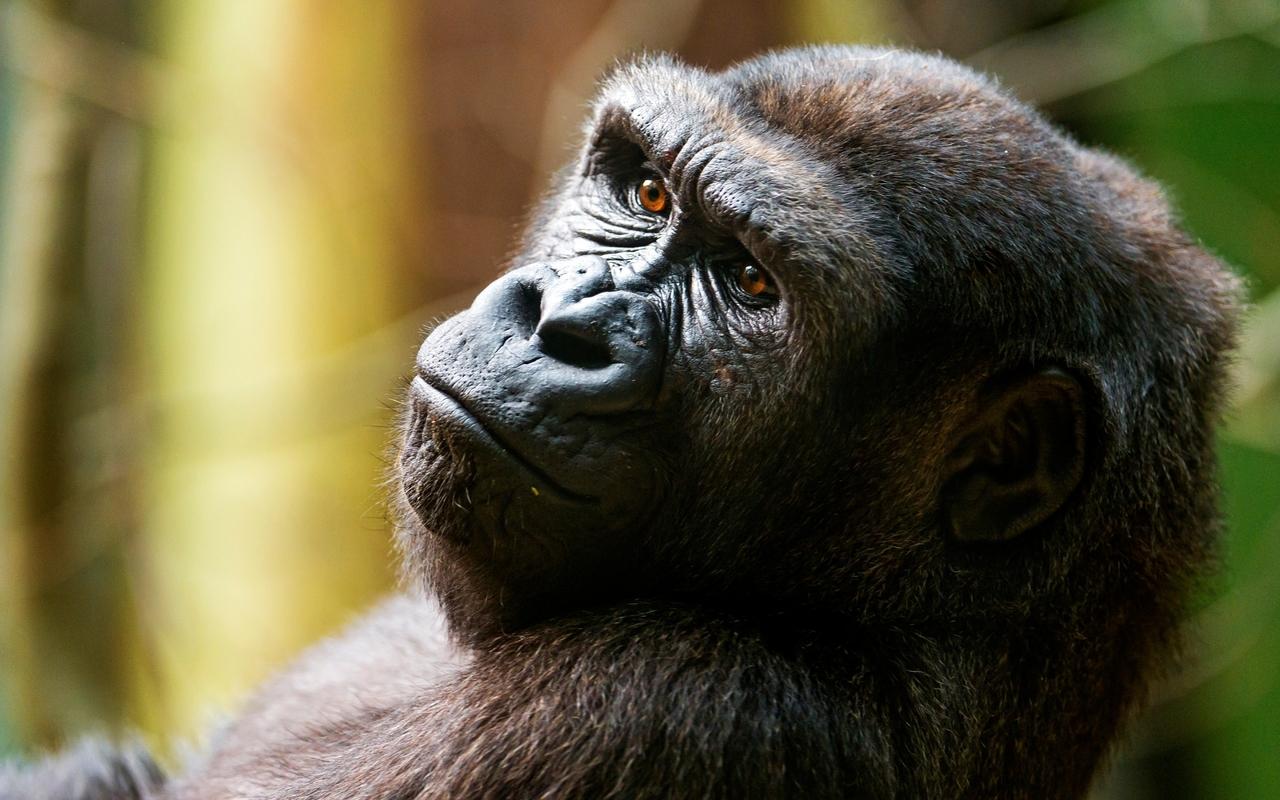 Gorilla wallpaper 28506 1280x800