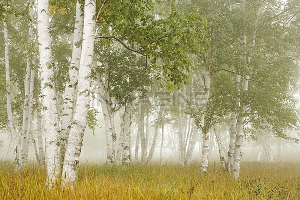 Bayontariocanadabirch Trees In The Fog Stock Photos Pictures 600x400