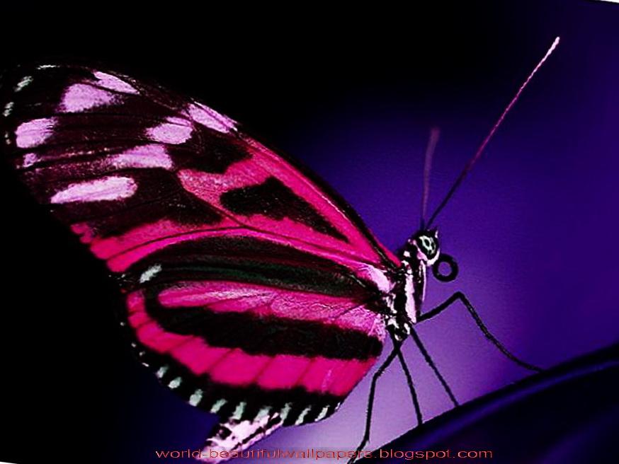 Beautiful Wallpapers Beautiful Butterflies Wallpaper 874x656