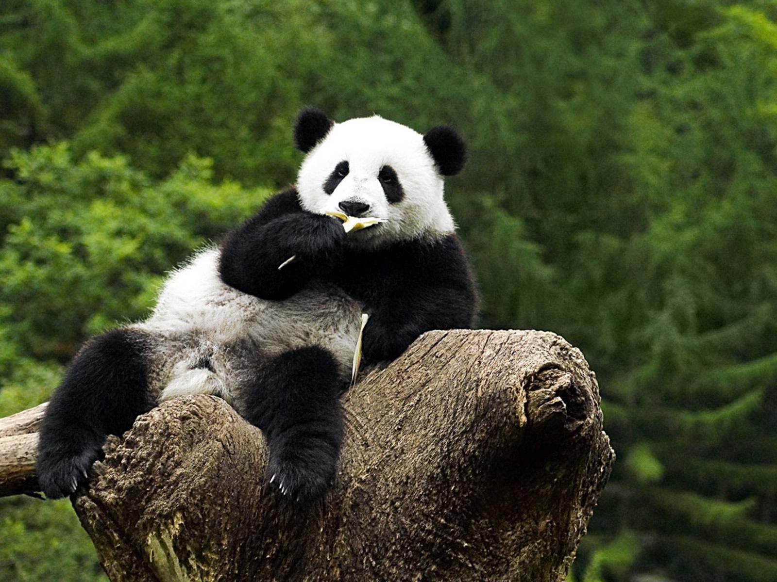 Description Panda Wallpaper HD is a hi res Wallpaper for pc desktops 1600x1200