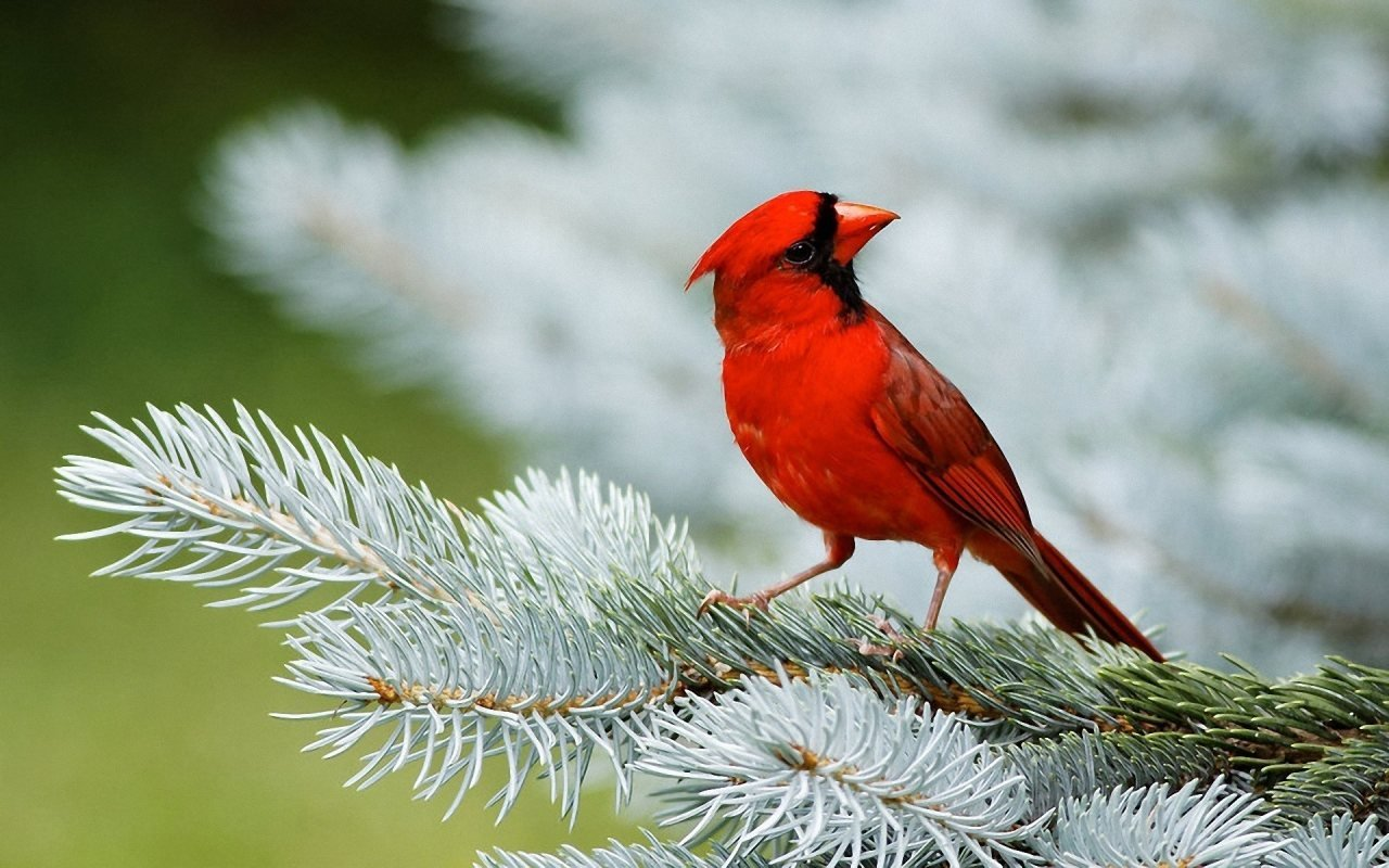 Cardinal Bird Slwallpapers 1280x800