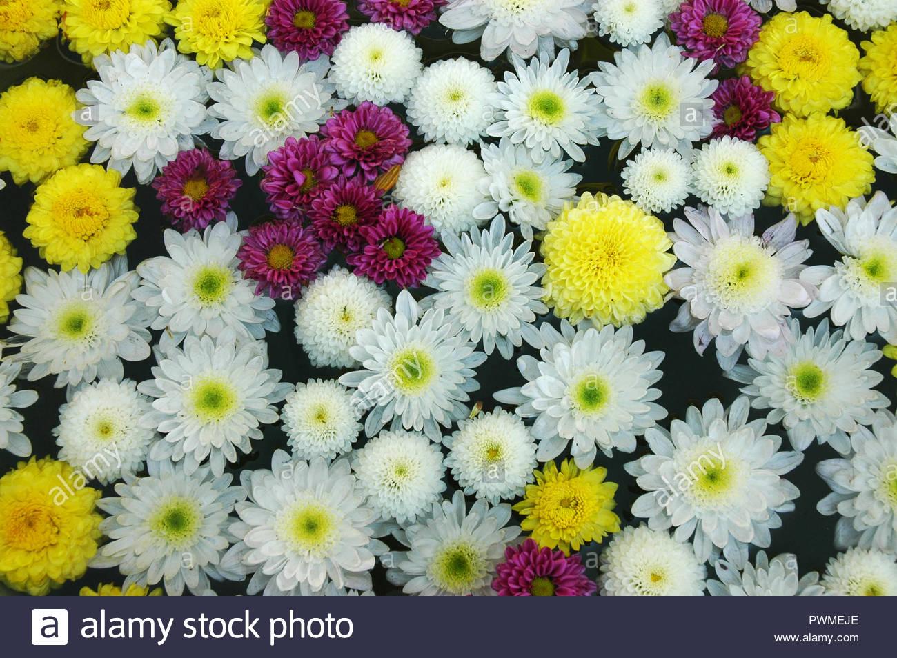 Group of Mums flower background Pink Gerbera Daisy Zinnia flower 1300x954