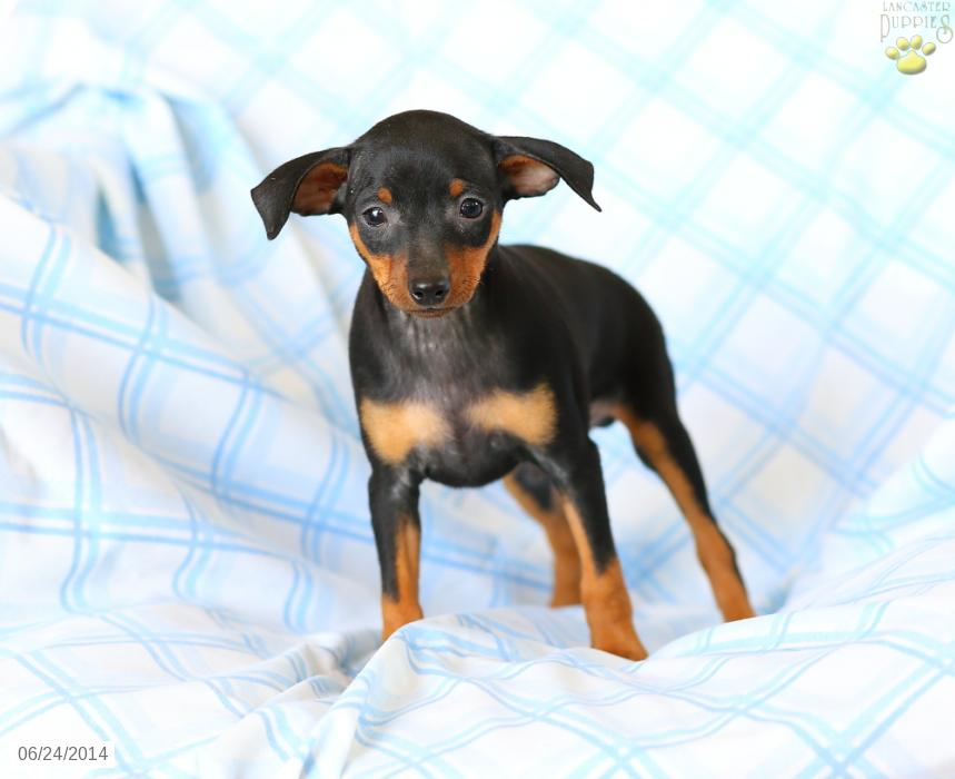 Miniature Pinscher Puppies For Sale 20 Hd Wallpaper 859x700