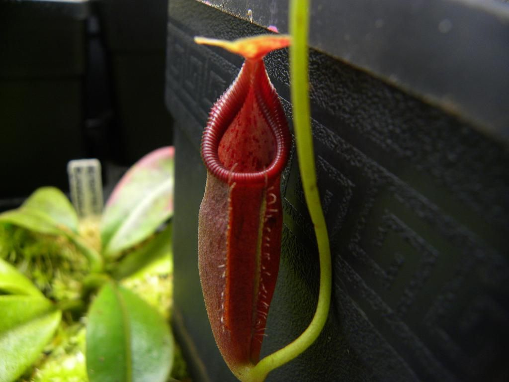 Nepenthes ovata photos 1024x768
