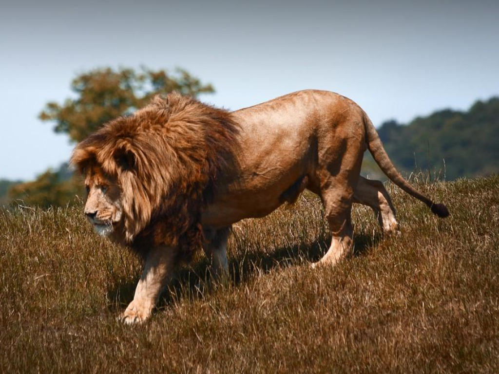 Lion HD Wallpapers 1080p - WallpaperSafari