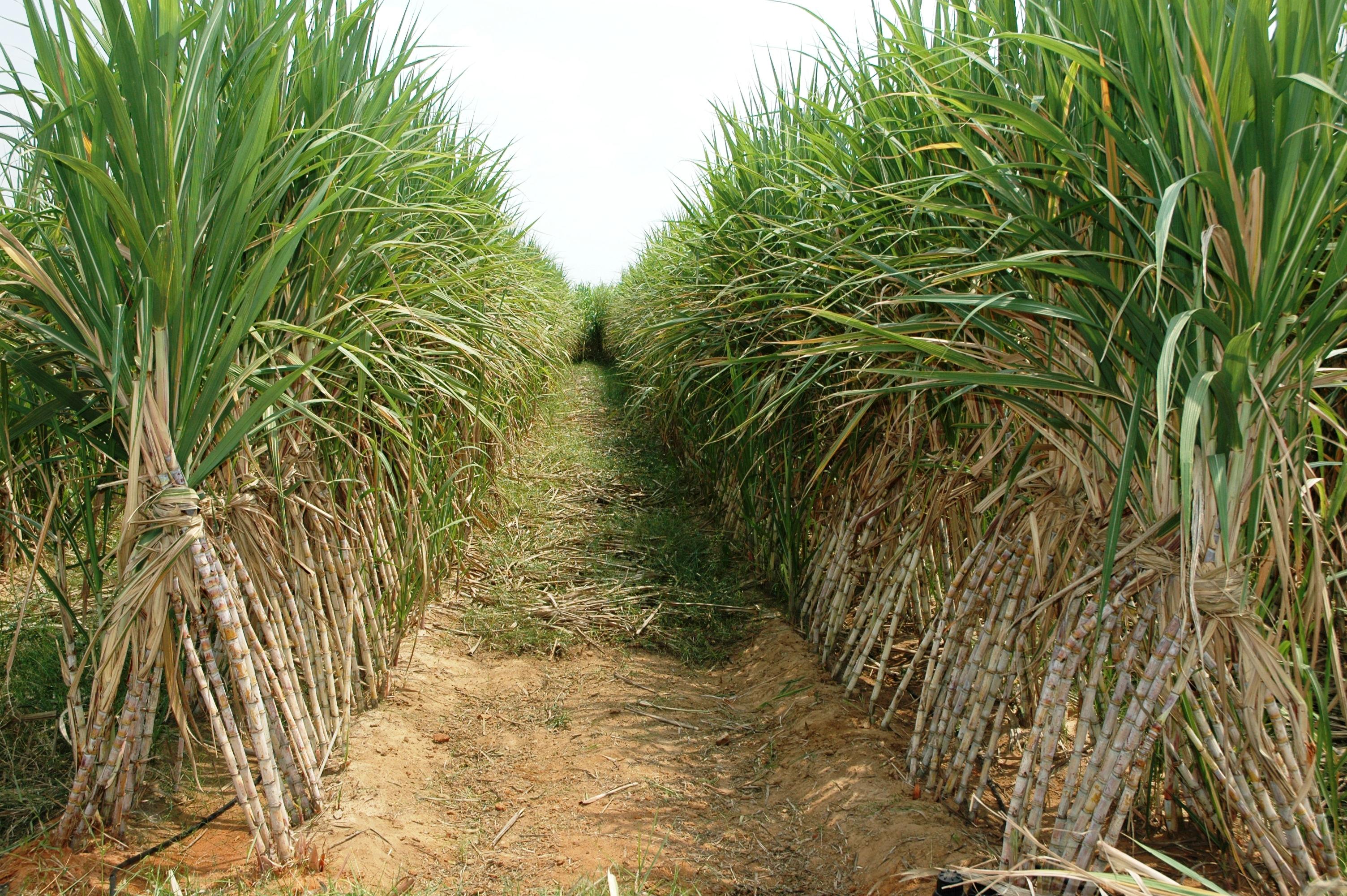 Sugarcane Wallpaper 3008x2000