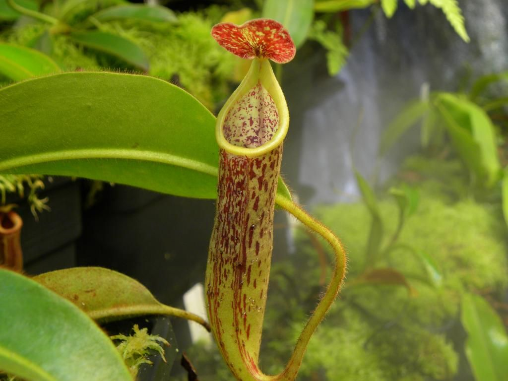 Nepenthes stenophylla photos 1024x768