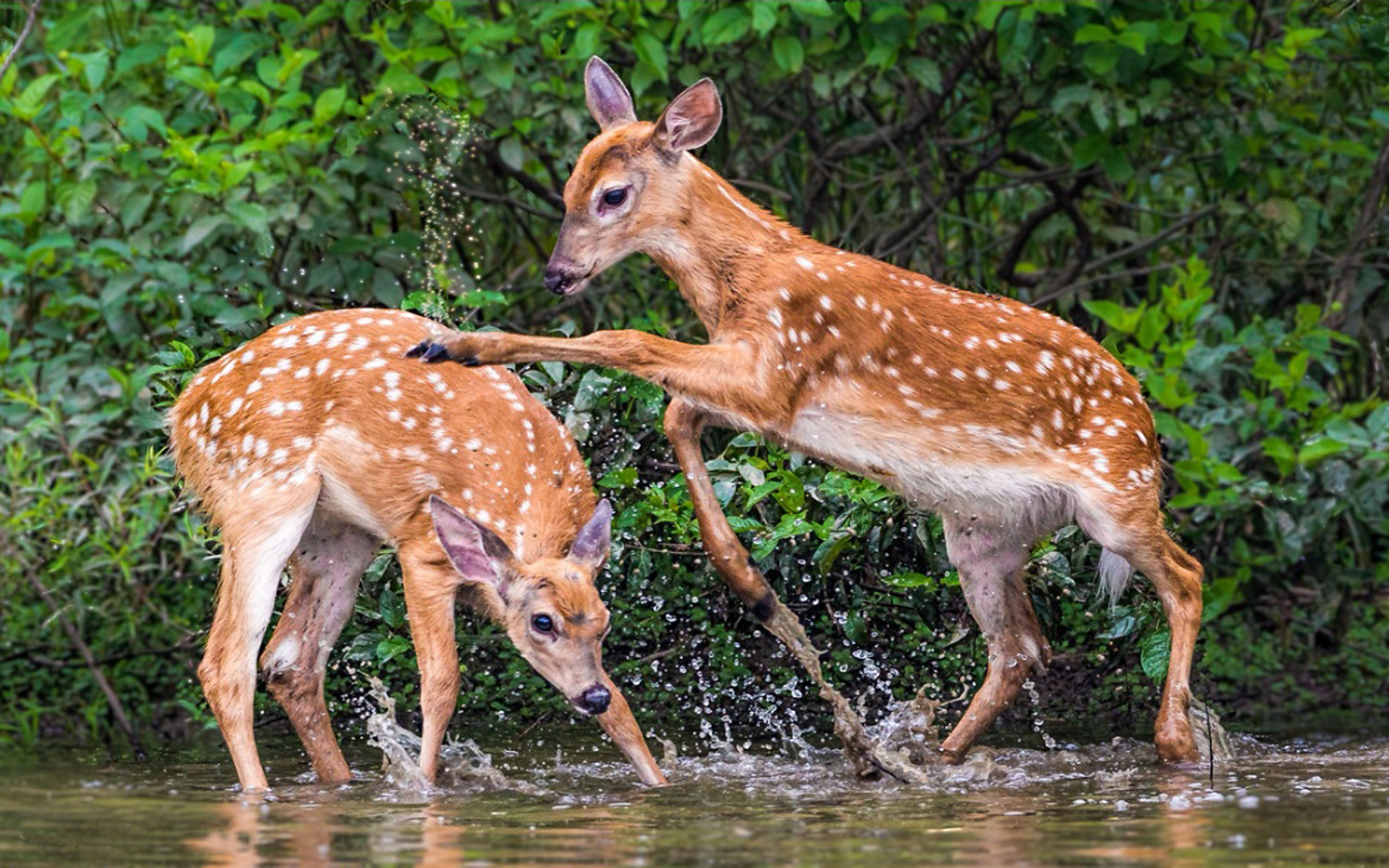Two Fawns Playing HD Wallpaper Background Image 2560x1600 ID 2560x1600