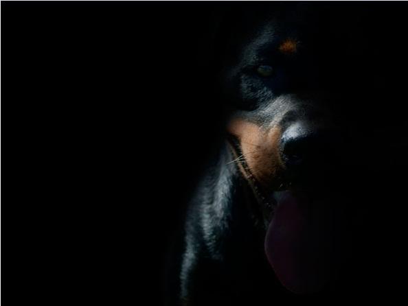HD Rottweiler Wallpaper