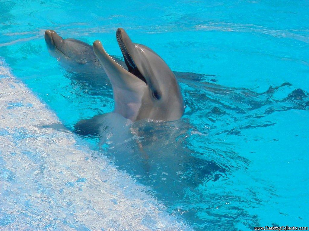 Dolphin Wallpapers Desktop 1024x768