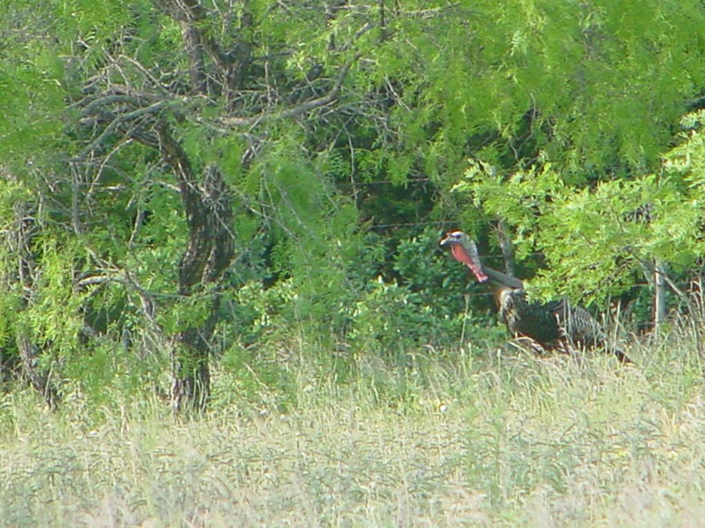 Wild Turkey Hunting 1024x768