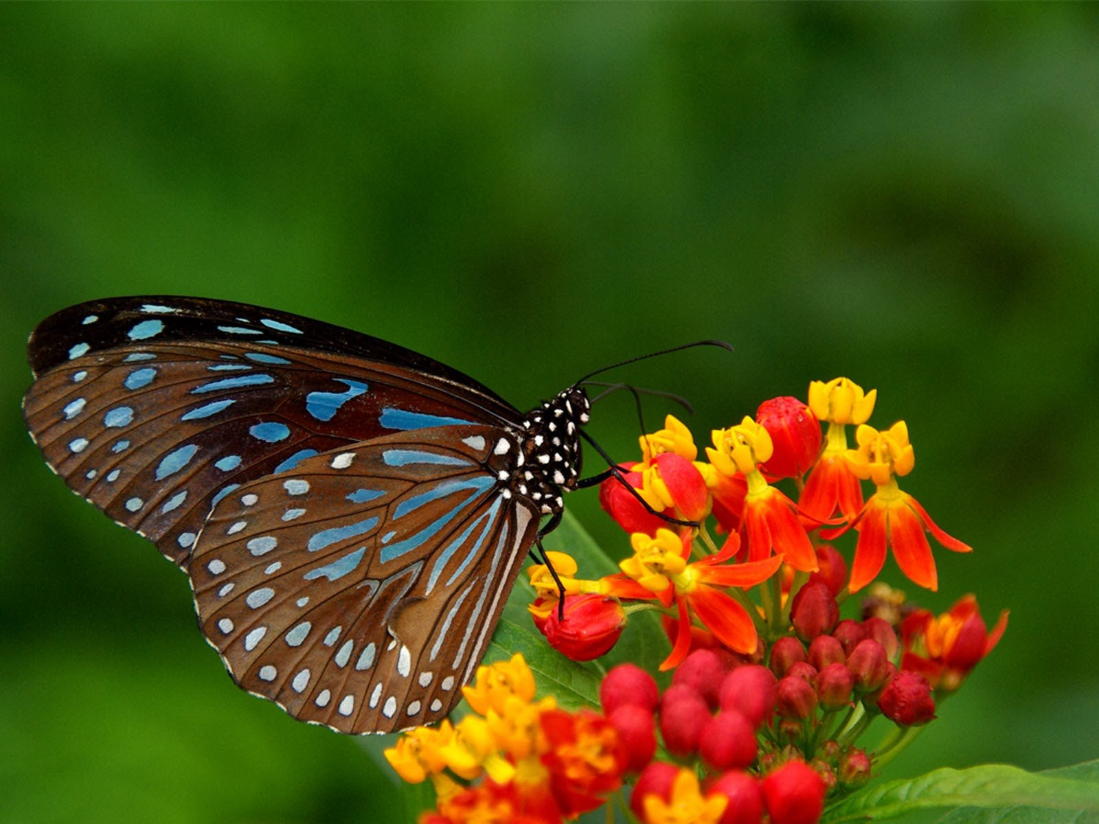 Butterfly Backgrounds Butterfly DesktopBackgrounds Butterfly 1600x1200