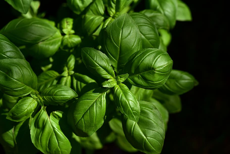 HD wallpaper basil herb culinary herbs spice green plant 910x607