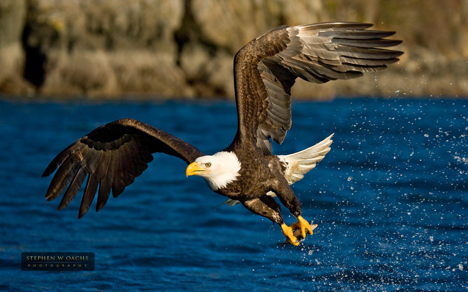 wallpaper fishing eagle beautiful gallery 1920x1200 1920x1200