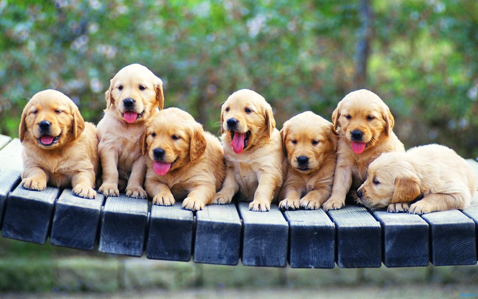 Puppies Wallpaper Seven Golden Retriever Puppies Wallpaper 1600x1000