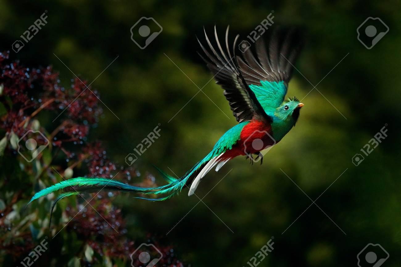 Flying Resplendent Quetzal Pharomachrus Mocinno Savegre In 1300x866