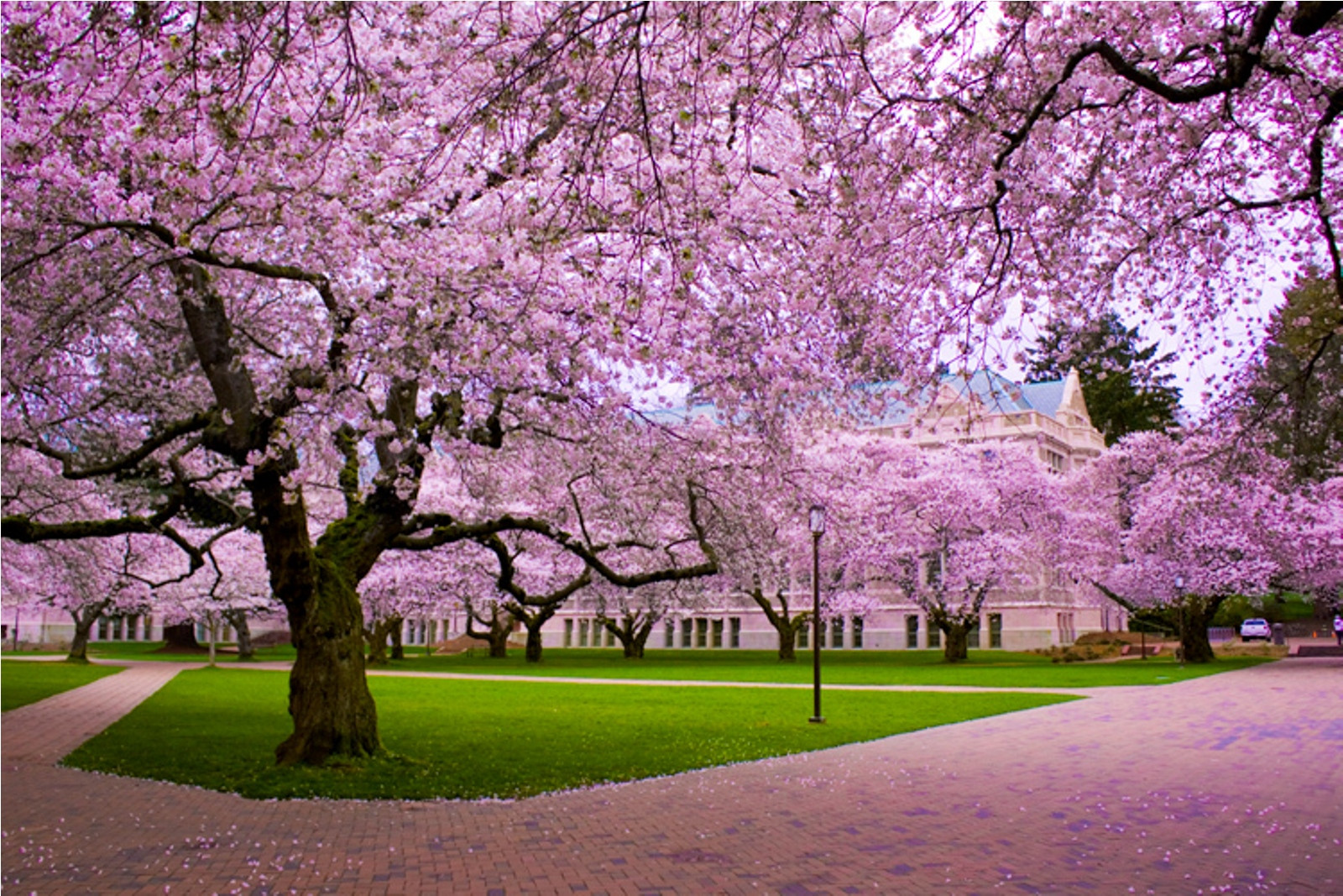 Free Download Cherry Blossom Wallpaper Desktop Background Wallpapers Hd 1600x1067 For Your Desktop Mobile Tablet Explore 46 Cherry Blossom Wallpaper For Desktop Cherry Blossom Wallpapers Cherry Blossom Wallpaper For