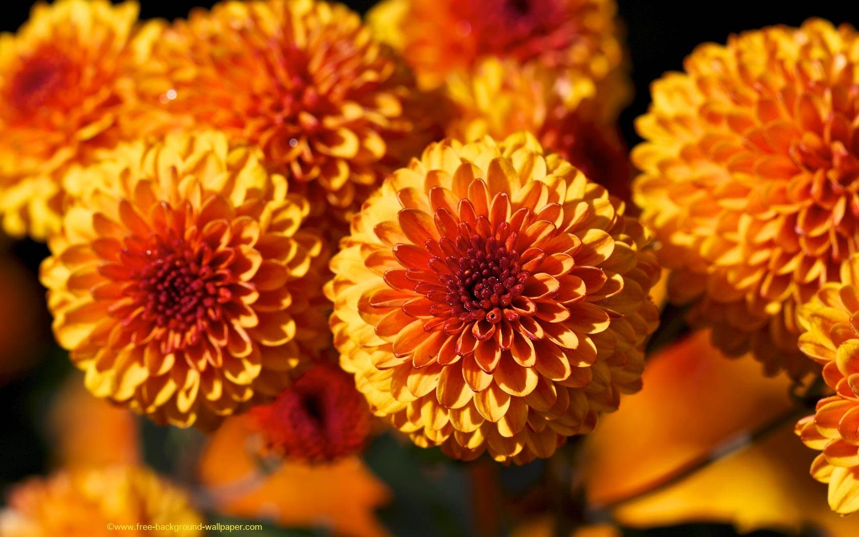 orange desktop wallpaper HD Wallpapers Backgrounds flower beaut 1680x1050