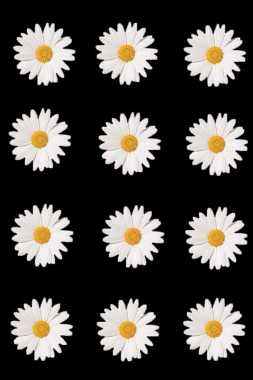 daisy flowers iphone wallpaper Tumblr 500x750